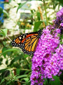 Butterfly Gardens - Hartford, Erin, Rubicon, Wisconsin