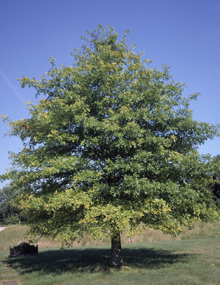 Winter is the best time to prune your oak trees